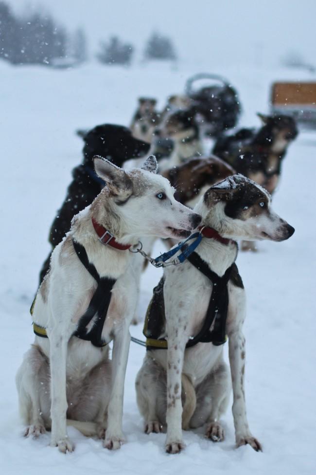 Oguzhan Erim, Kiruna. Cani da slitta in Svezia